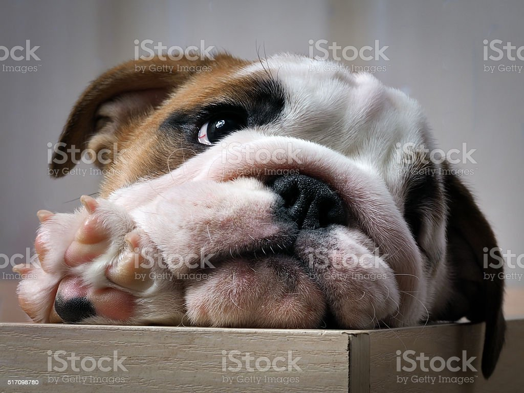Puppy peeking out of the enclosure. stock photo