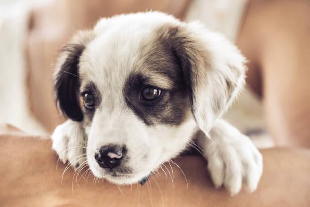 Puppy picture id1089724932?b=1&k=6&m=1089724932&s=612x612&w=0&h=oizyh53mokya1hpwq0c7wkry08zhv8oi4yavpi31u94=