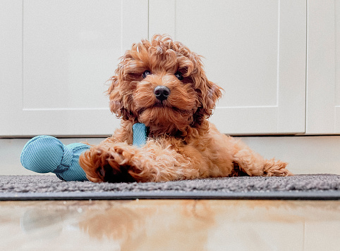 A cute puppy is laying down with a toy