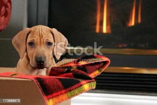 Rhodesian Ridgeback puppy (11weeks old).Sitting in a box possibly as a gift.