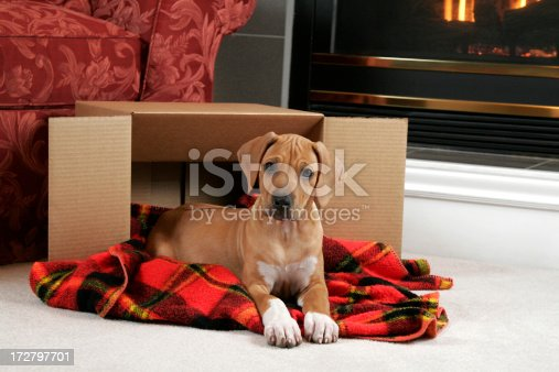 Rhodesian Ridgeback puppy (11weeks old).Laying in a box representing some sort of gift or special delivery.