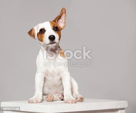 Puppy listening with raised ear. dog eavesdropping