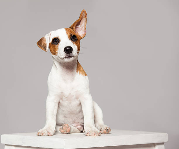 puppy - ear stock photos and pictures