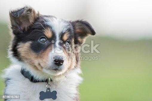 A small purebred border collie puppy is sitting outside in the grass looking into the camera.