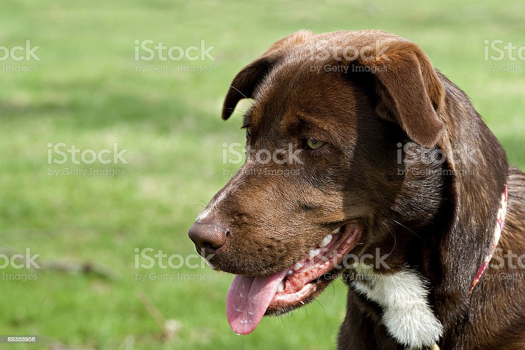 puppy royalty free stockfoto