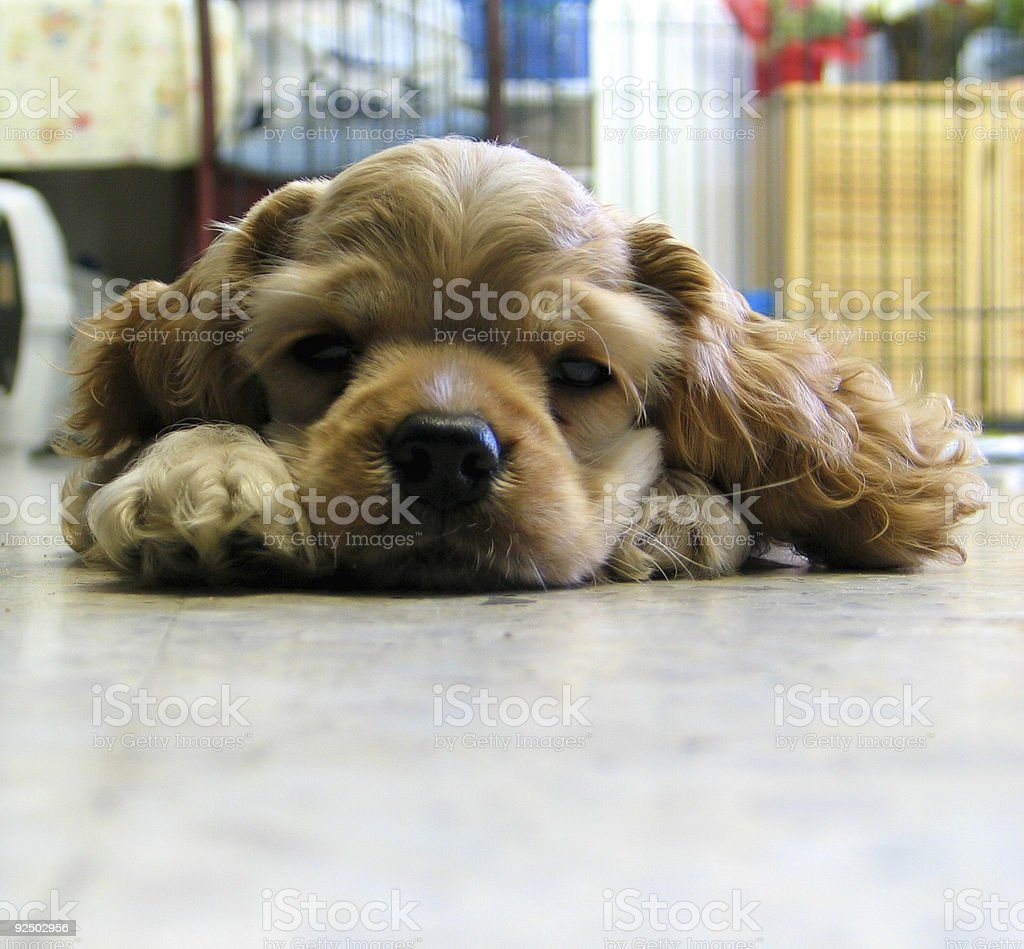Puppy royalty-free stock photo