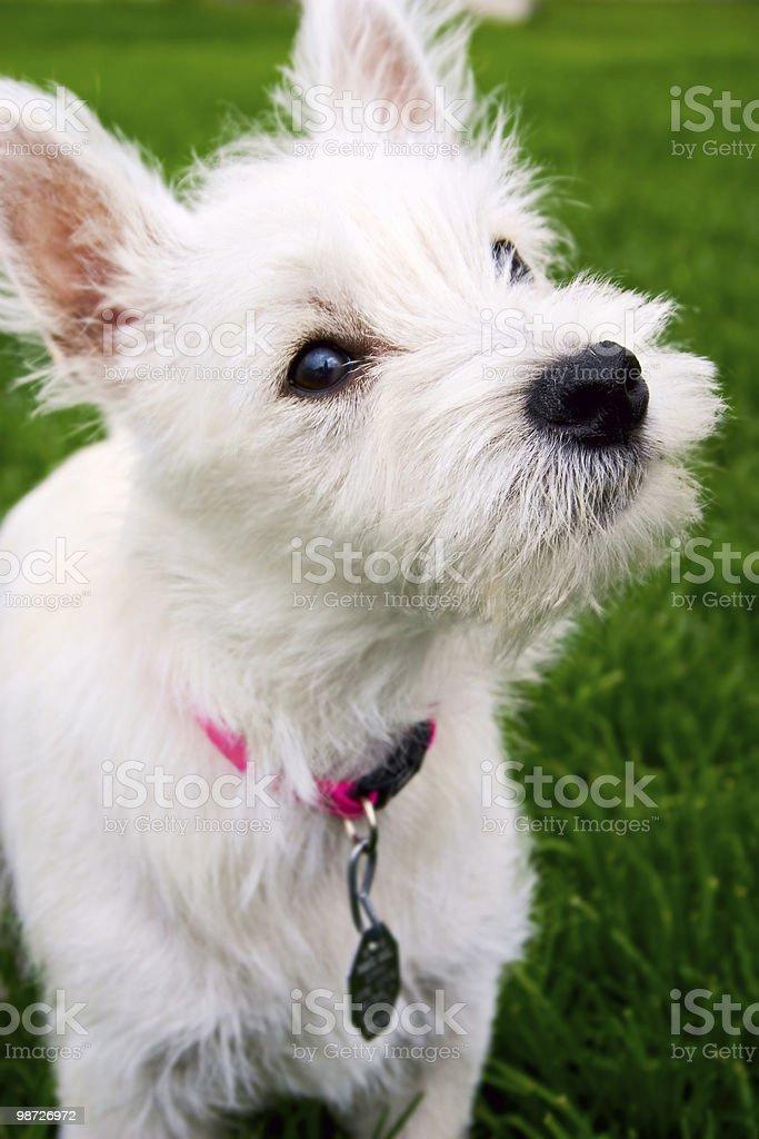 Puppy royalty-free stock photo