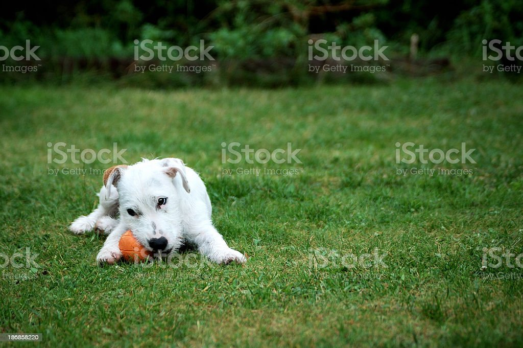 Puppy playing ball stock photo