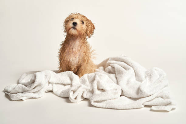 puppy playing on a towel after bathing on a white background