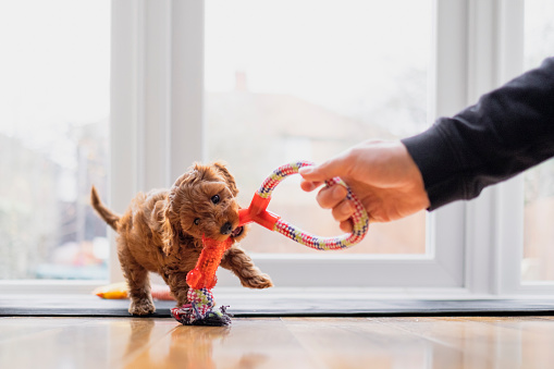 Cute puppy is playing tug with a toy
