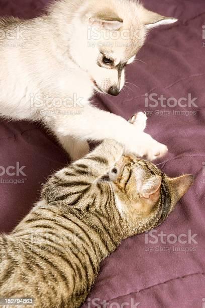 Puppy playing with kitten picture id182794863?b=1&k=6&m=182794863&s=612x612&h=rywvahn  aqrgcyujv5hoc7oiuxlucadtexeu wsepa=