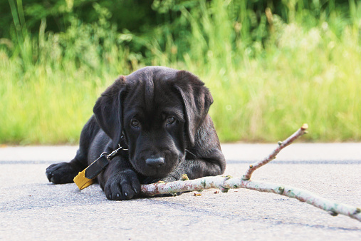 Black labrador laying on pavement playing with a stick