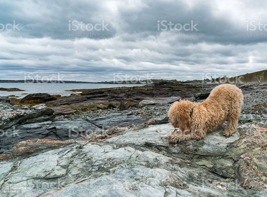 Puppy Plays on Ocean Rocks stock photo