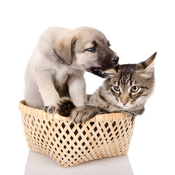 Puppy plays with a kitten picture id177418038?b=1&k=6&m=177418038&s=612x612&w=0&h=vbx pgu2xrrmyozgp2d3n31t8rd ctlnp31xfjmkhri=
