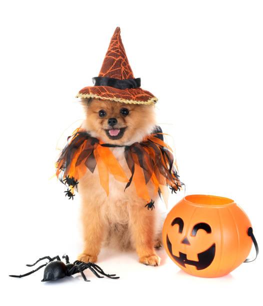 welpen pommerschen und halloween - hund spinnenkostüm stock-fotos und bilder
