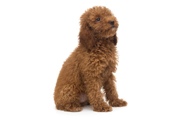 Puppy poodle chocolate color picture id1259136640?b=1&k=6&m=1259136640&s=612x612&w=0&h=0aw4pxvgel2gb8ttsnyswr fzjjavl3ppqavsqdteqg=