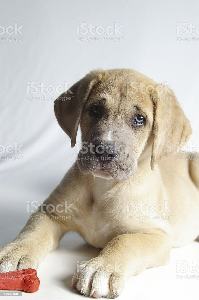 Puppy Portrait royalty-free stock photo