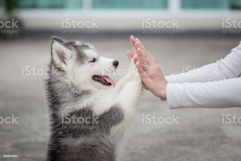 Puppy pressing his paw against a Girl hand stock photo