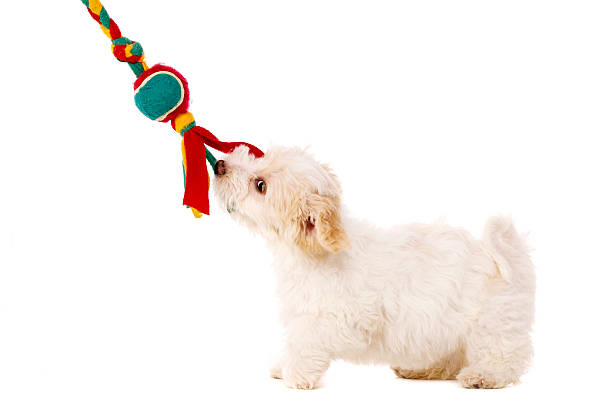 Puppy pulling toy isolated on a white background stock photo