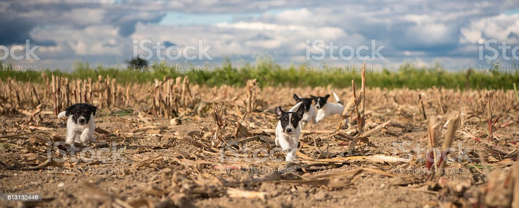 Puppy race over cropped cornfield in front of clouds. stock photo