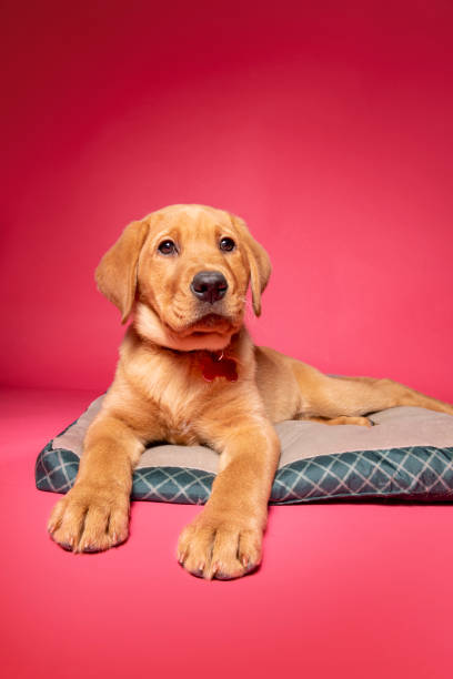 Puppy Relaxing on Her Bed stock photo