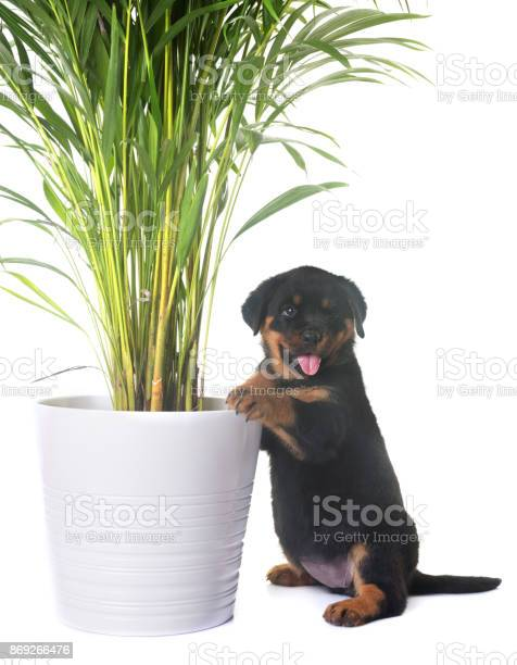Puppy rottweiler picture id869266476?b=1&k=6&m=869266476&s=612x612&h= fs9rhx wmrnp8f25a4 eu4 jdznw9ufhs8bdt82a7c=