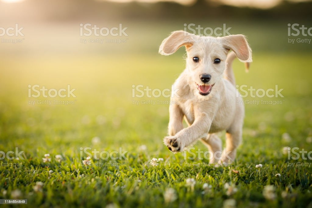 Puppy running at the park Puppies playing at the park Animal Stock Photo