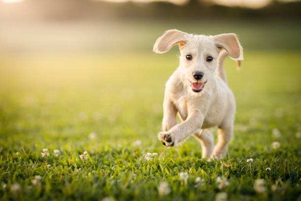Puppy running at the park stock photo