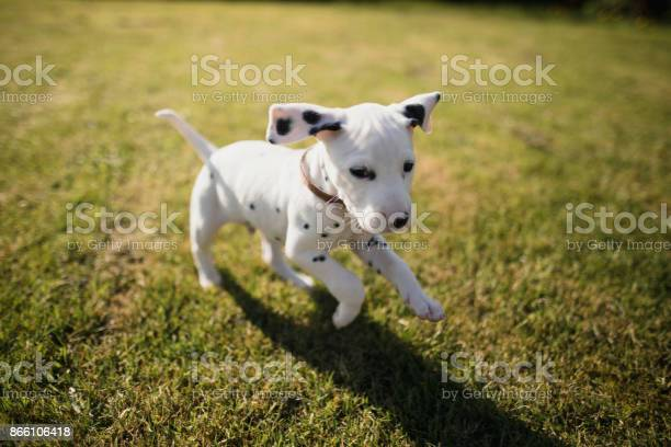 Puppy running in the garden picture id866106418?b=1&k=6&m=866106418&s=612x612&h=uuu2syloy vghrukzm9lquwxgbbzbm78bermubzjoa4=