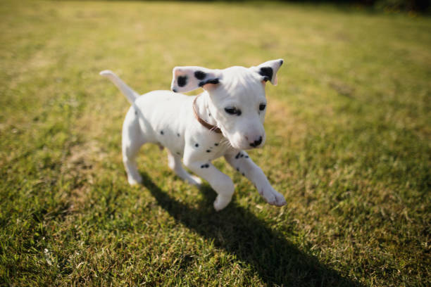 Puppy running in the garden picture id866106418?b=1&k=6&m=866106418&s=612x612&w=0&h=bajk2nynbj7ltkxgef4 8lum4iytbpr6shc7uh 0yvq=