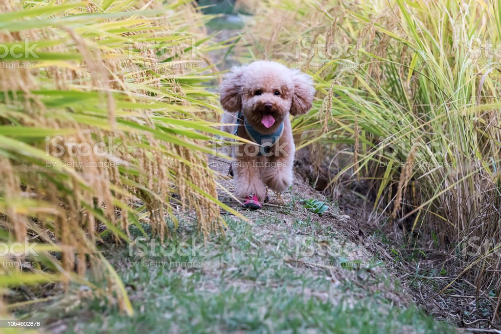 Puppy running in the paddy field stock photo