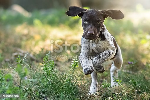 A German Short Haired puppy running towards the camera.