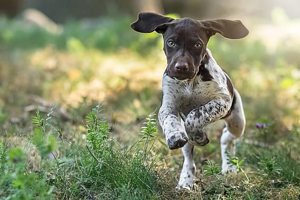 Cachorro corriendo hacia la cámara - foto de stock