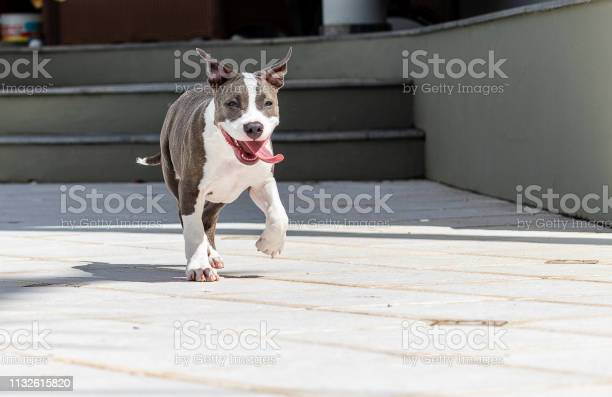 Puppy running with tongue out picture id1132615820?b=1&k=6&m=1132615820&s=612x612&h=ftwlzrysfqsdoxvs4serd ouewnkkwfj13hp6ifyjla=
