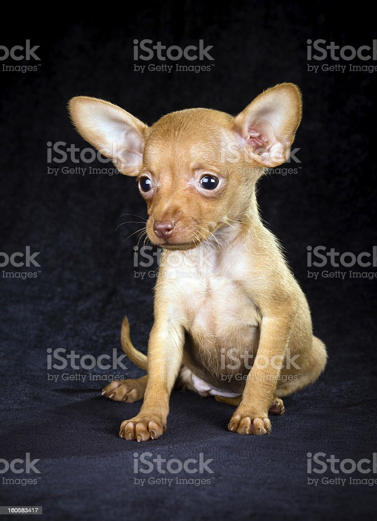 Puppy Russian toy terrier stock photo