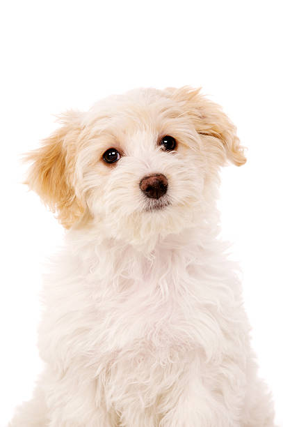 Puppy sat isolated on a white background stock photo