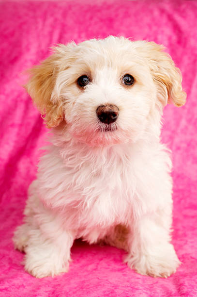 Puppy sat on a pink background stock photo