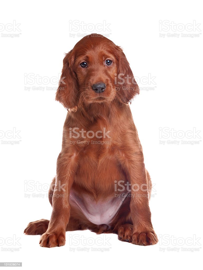 puppy setter stock photo