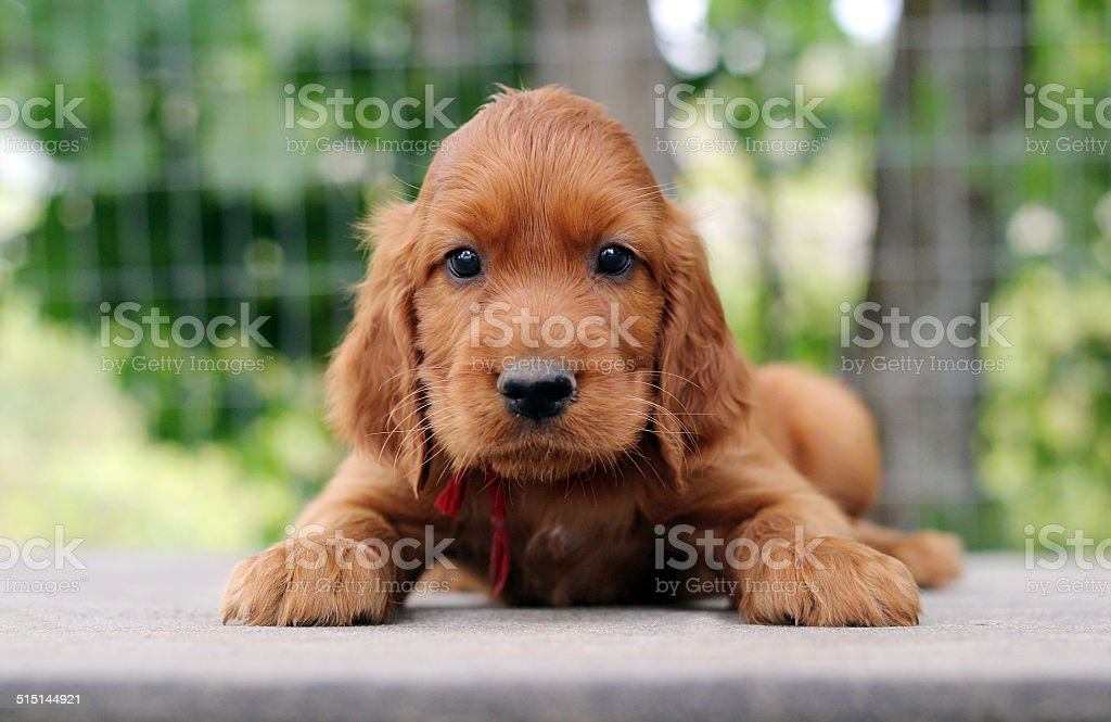 Puppy setter sitting on the table stock photo