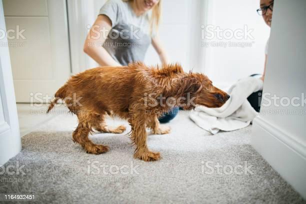 Puppy shaking water off picture id1164932451?b=1&k=6&m=1164932451&s=612x612&h=mxpv e zw10ywuualafiroemfnr6arqtlovejtpmwoi=