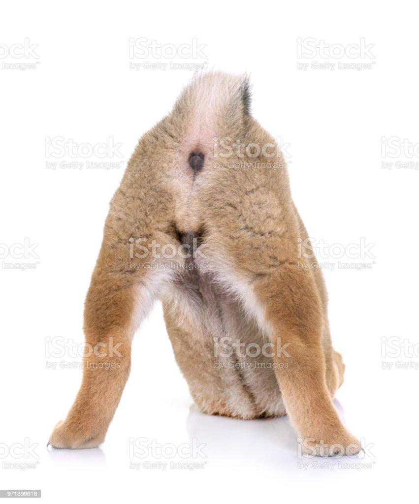 puppy shiba inu - foto stock
