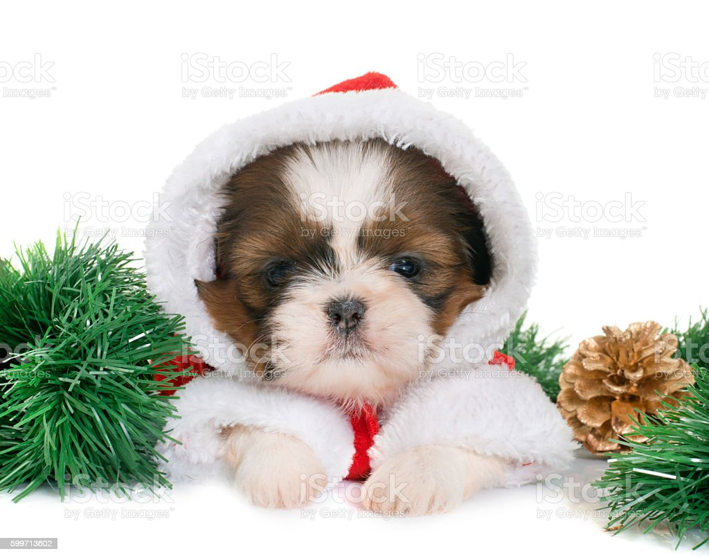 Puppy Shih Tzu And Christmas Stock Photo & More Pictures of Animal ...