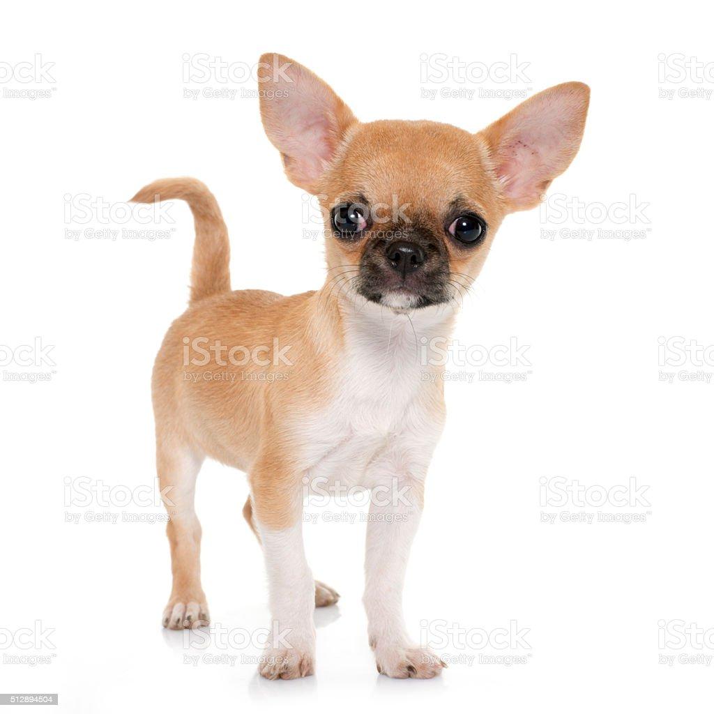 Kurzhaar Chihuahua Welpe Stockfoto Und Mehr Bilder Von Braun Istock