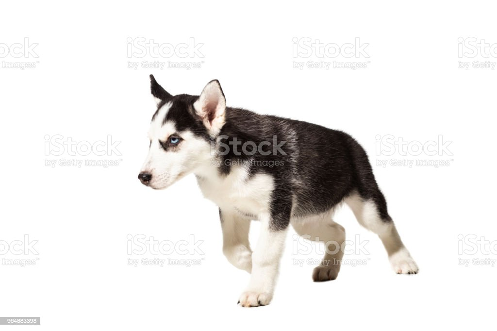 Puppy Siberian husky black and white with blue eyes on white background royalty-free stock photo