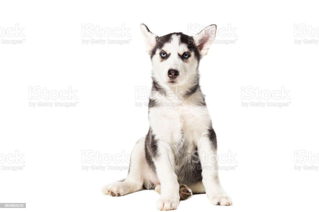小狗西伯利亞沙啞的黑白相間的藍色眼睛白色背景 - 免版稅一個人圖庫照片