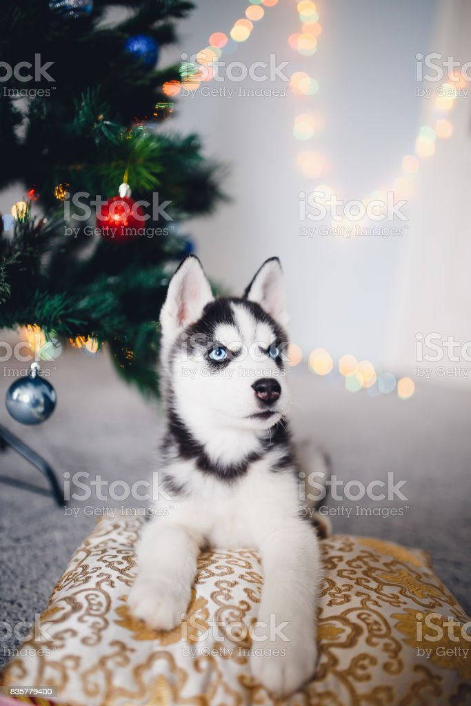 Husky Christmas Puppy.Puppy Siberian Husky New Year Christmas Stock Photo Download Image Now