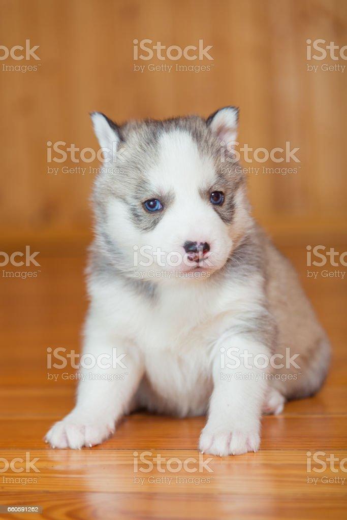 Puppy Siberian Husky royalty-free stock photo