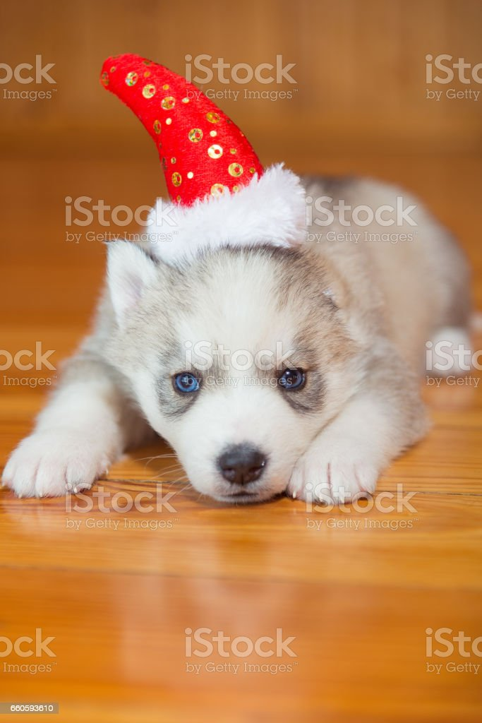 Puppy Siberian Husky. Puppy wearing a Christmas hat. royalty-free stock photo