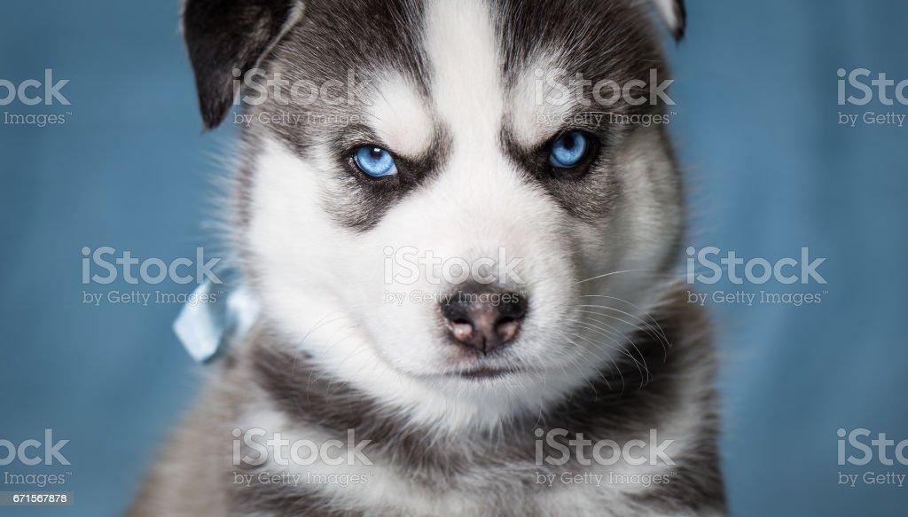 Puppy Siberian Husky With Blue Eyes Stock Photo Istock