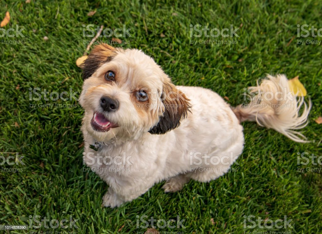 puppy sitting in green grass looking up stock photo